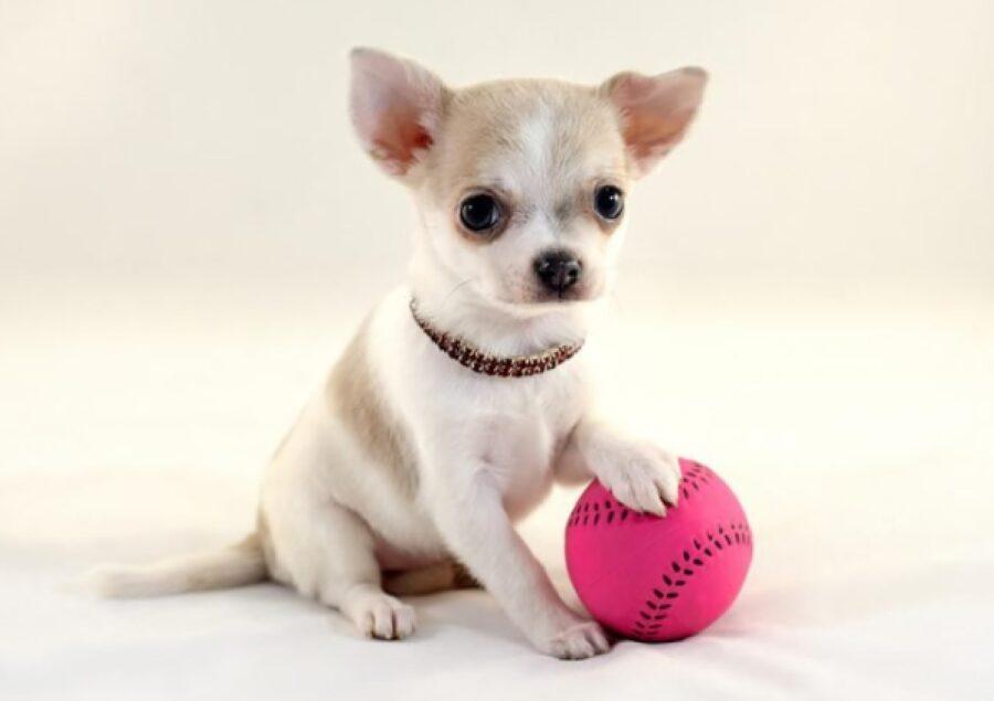 cucciolo chihuahua pallina rosa