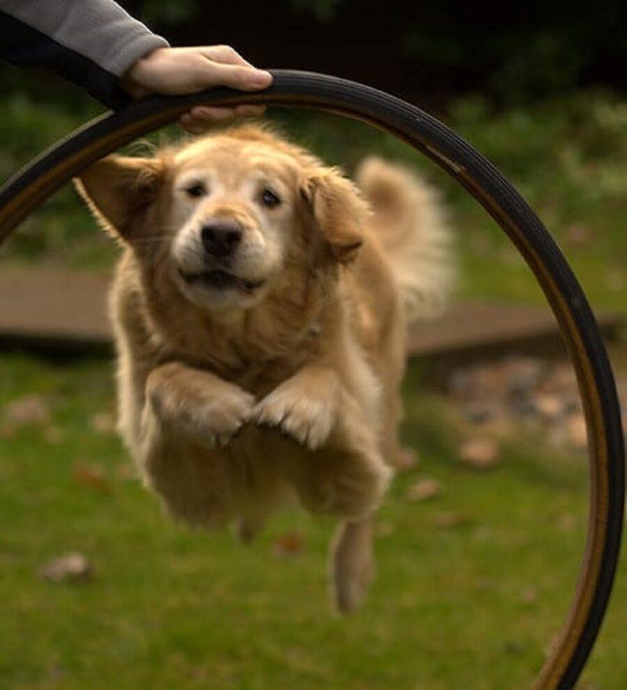 cucciolo salto cerchio