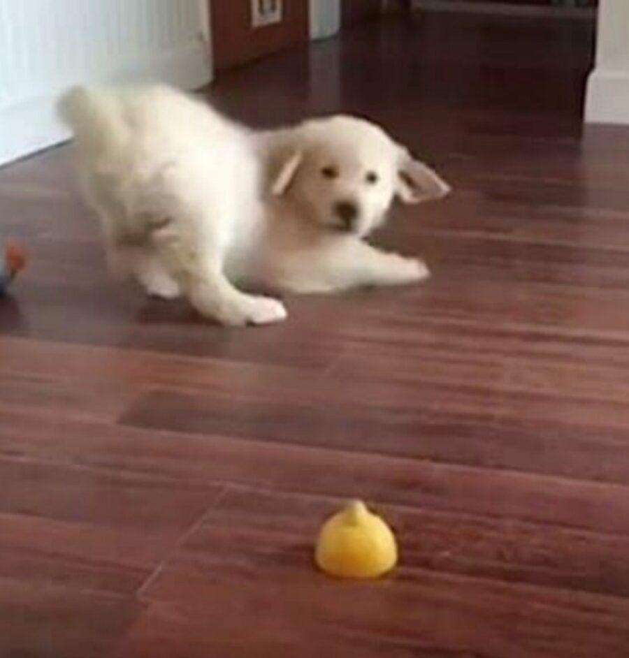 cucciolo limone paura