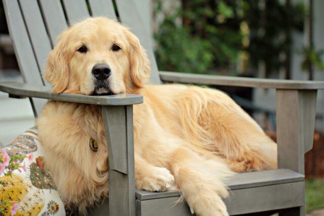 cane peloso seduto