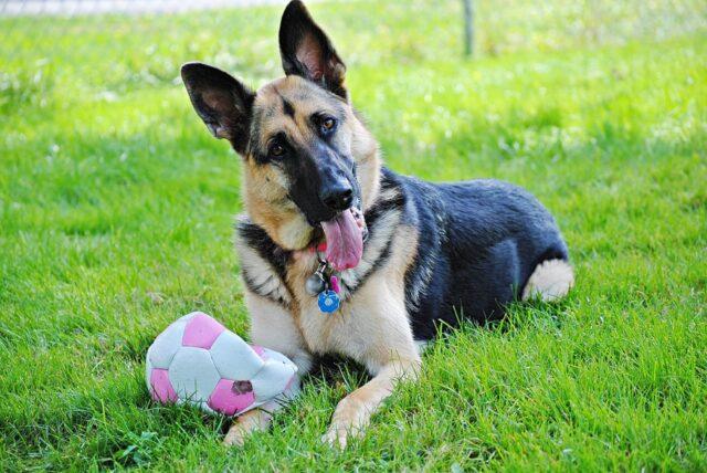 cucciolo palla gioca