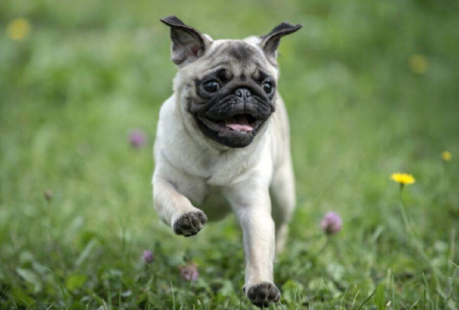 cane carlino corre felice