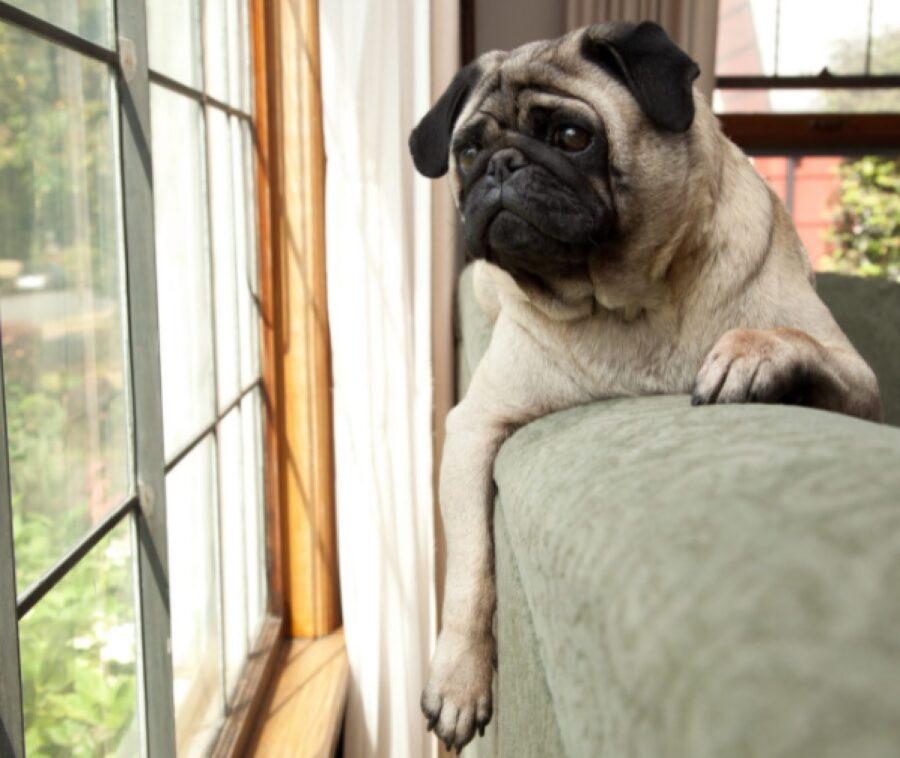 cane carlino sguardo oltre finestra