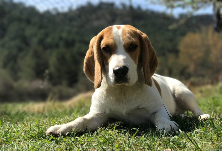 Beagle sul prato