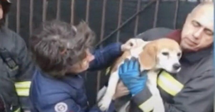 Beagle salvato dopo esser caduto in una fogna