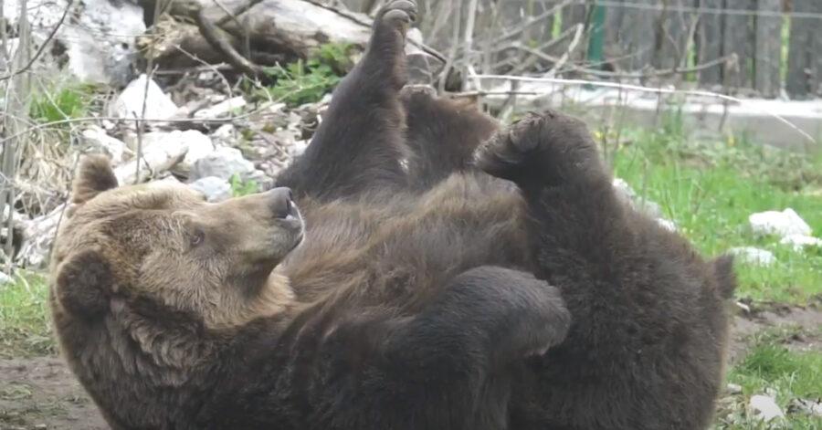 Orso sdraiato sulla schiena