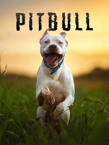 pitbull corre
