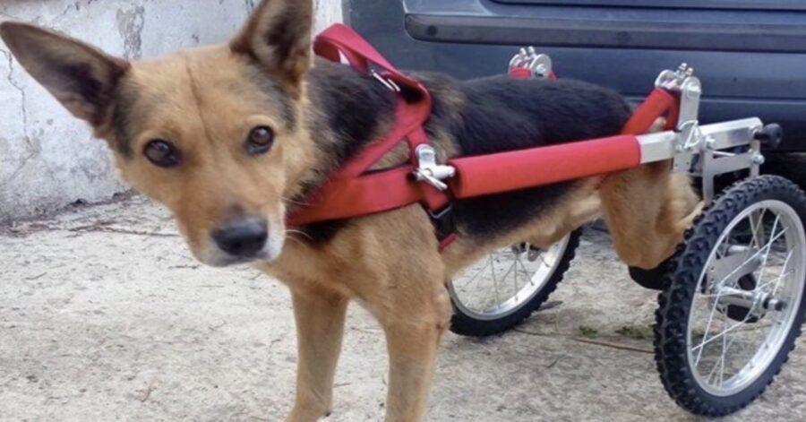 cane disabile con carrellino
