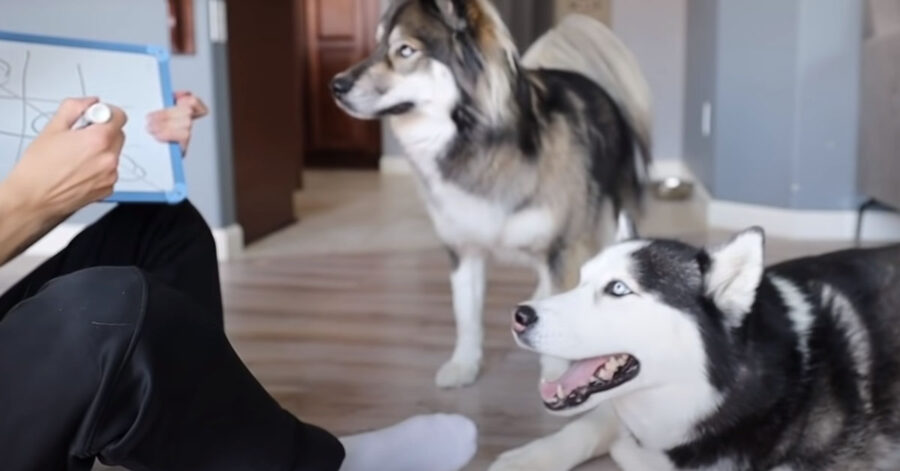 Due Husky che osservano