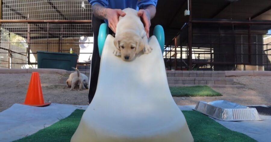 Cucciolo di Labrador su uno scivolo