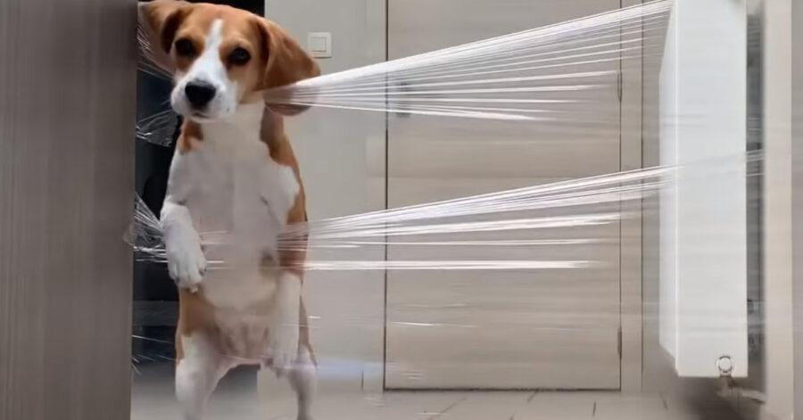 Beagle di fronte a un muro invisibile