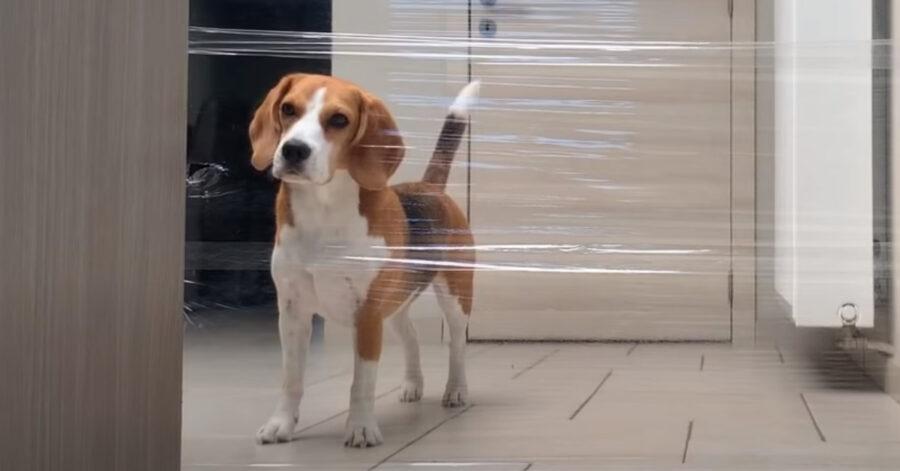 Beagle che osserva un muro fatto con la pellicola