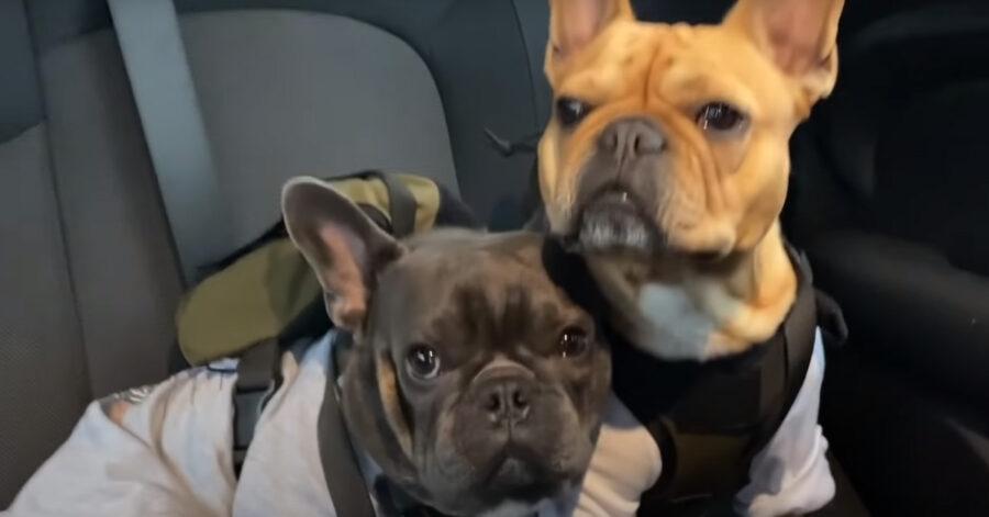 Due Bulldog Francese in macchina