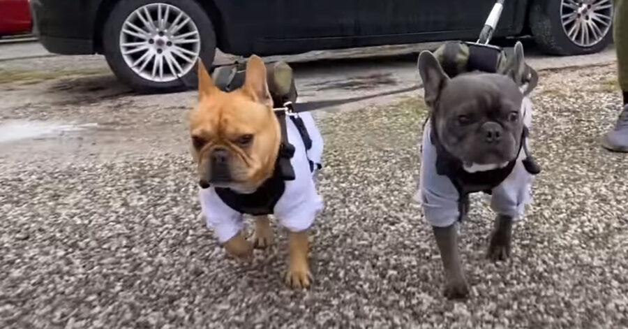 Bulldog Francese che camminano