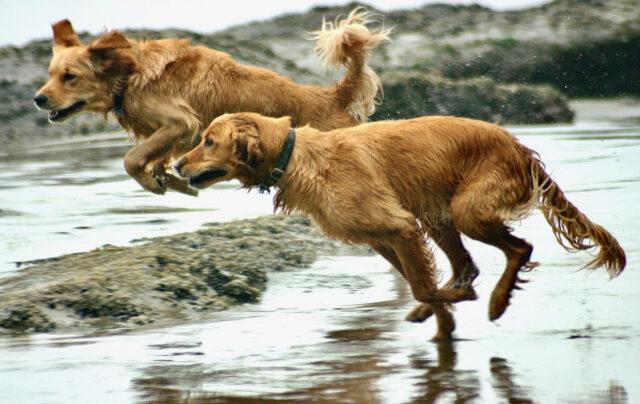 Cani che corrono in spiaggia