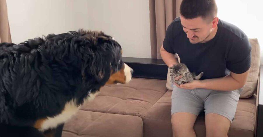 Bovaro del Bernese incontra un gattino
