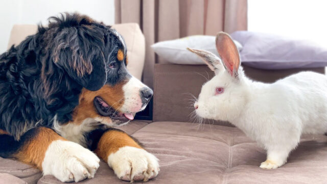 Bovaro del Bernese che guarda un coniglio