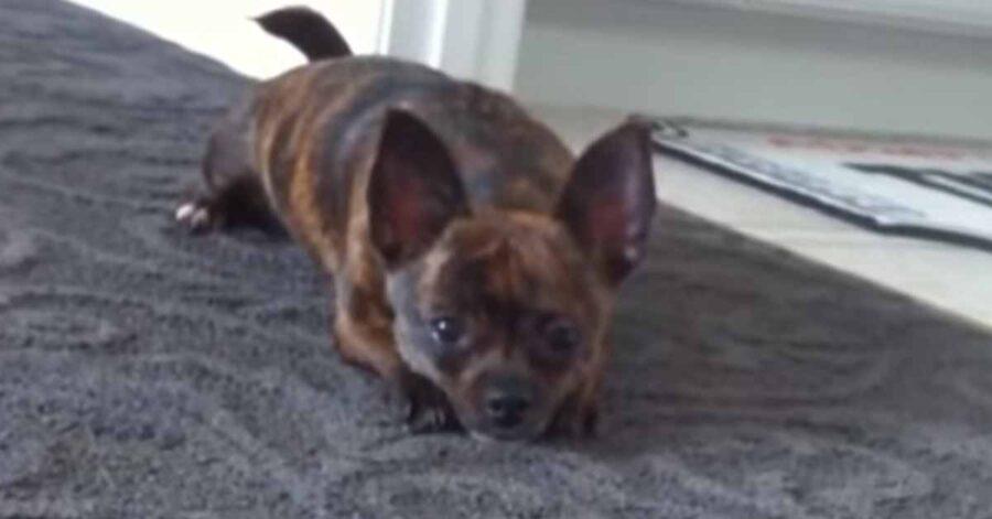 Chihuahua sdraiato