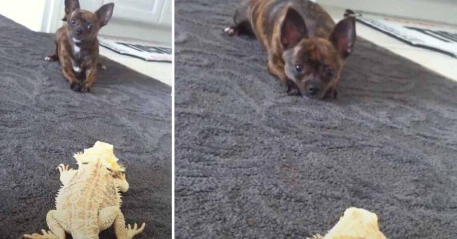 Chihuahua con un drago barbuto