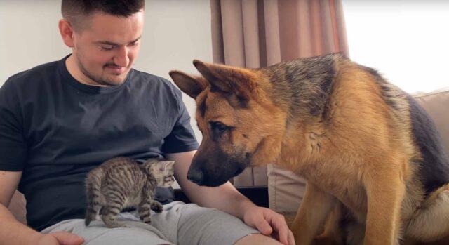 Pastore Tedesco che osserva un gattino