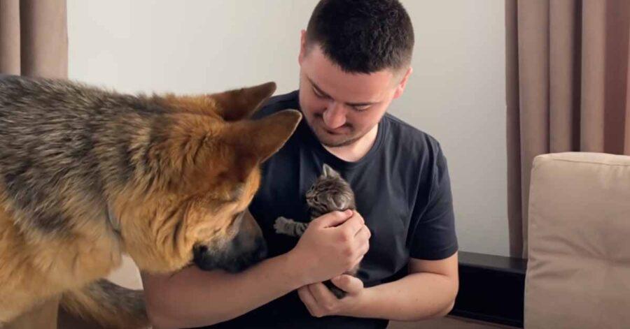 Pastore Tedesco incontra un gattino