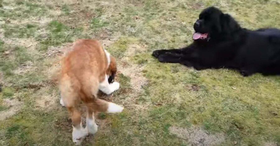 Cani in un prato