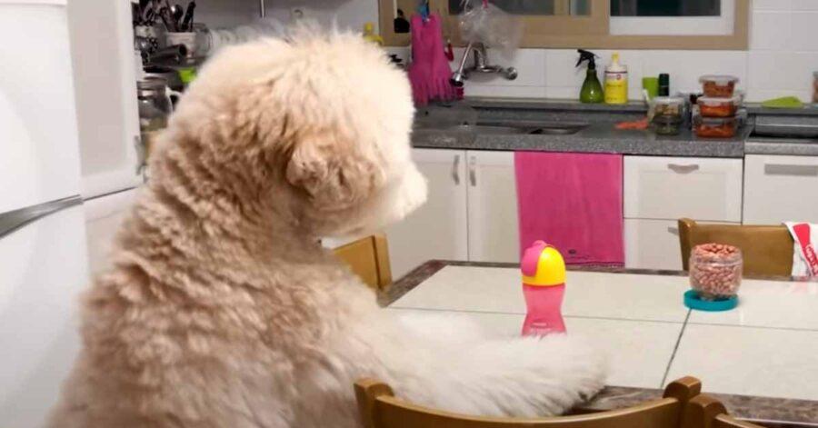 Cane Barbone sul tavolo