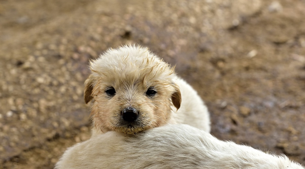 cane fango