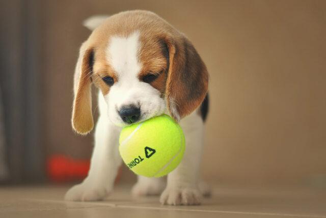 Beagle con una pallina in bocca