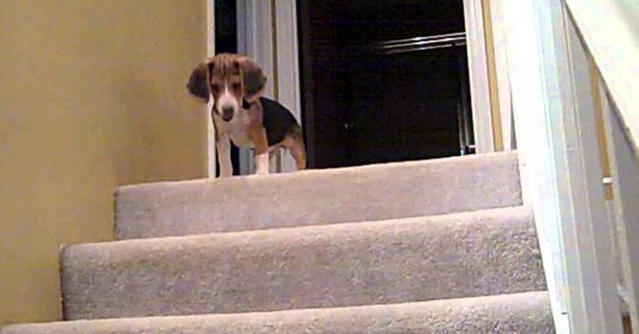 Beagle che scende le scale
