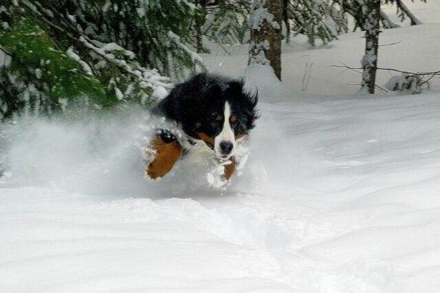 Bovaro del Bernese nella neve