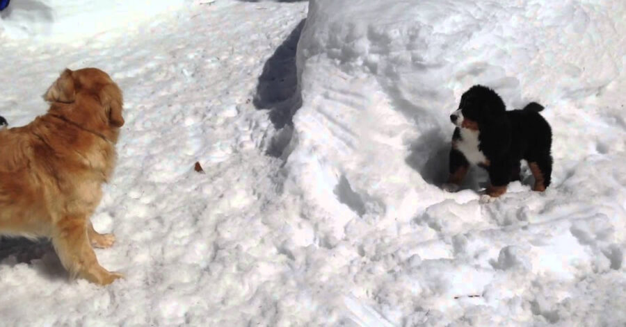 Cani che giocano nella neve