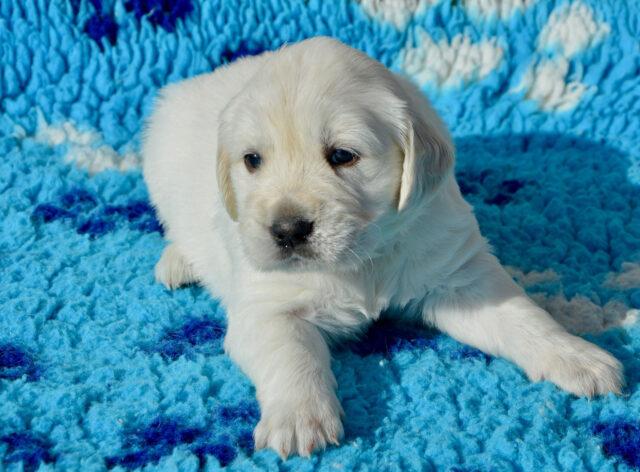 Cucciolo di Golden Retriever sdraiato