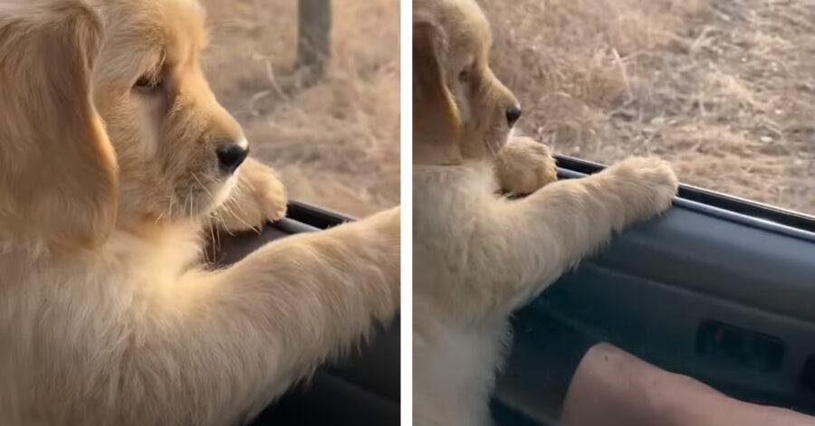 Cucciolo di Golden Retriever affacciato al finestrino