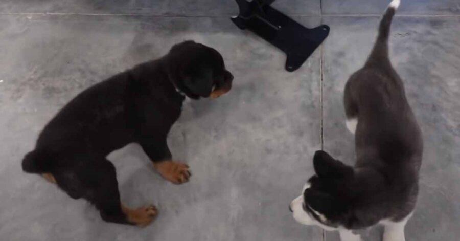 Due cuccioli che giocano