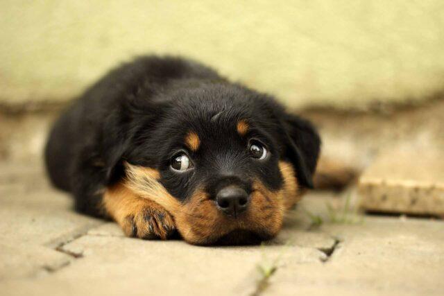 Cucciolo di Rottweiler che osserva
