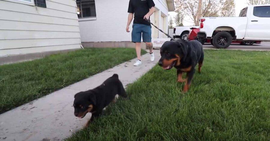 Due Rottweiler al guinzaglio