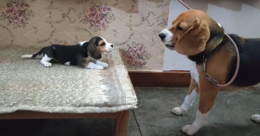 Beagle con un cucciolo