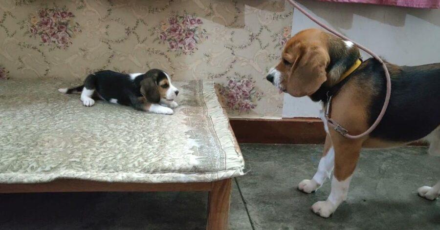 Beagle adulto con un cucciolo