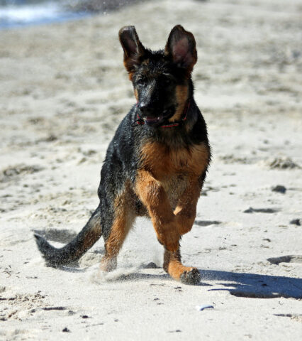Cucciolo di Pastore Tedesco in spiaggia