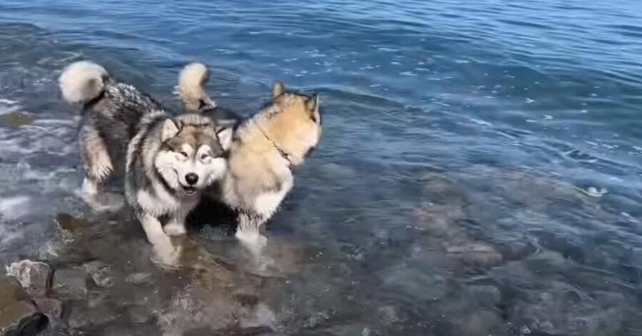 Due cani che fanno il bagno in mare