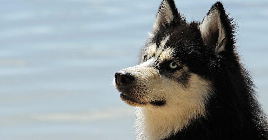 Husky in spiaggia