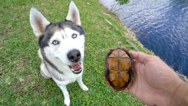 Husky con una tartaruga