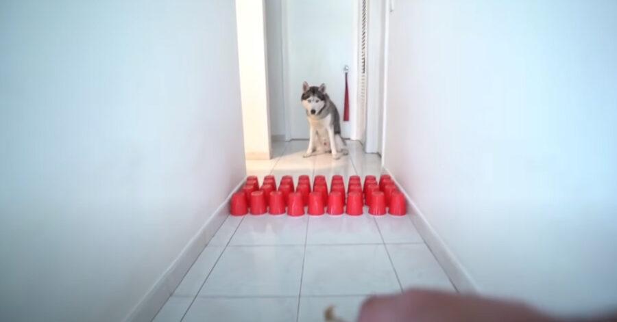 Husky con il percorso ad ostacoli con i bicchieri