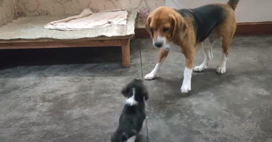 Cucciolo di cane che gioca con il papà