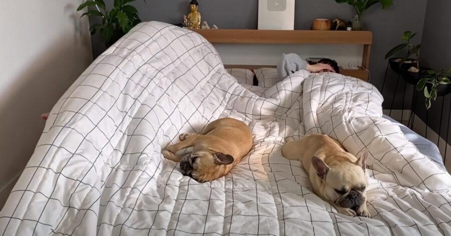 Bulldog Francese nel letto dei proprietari