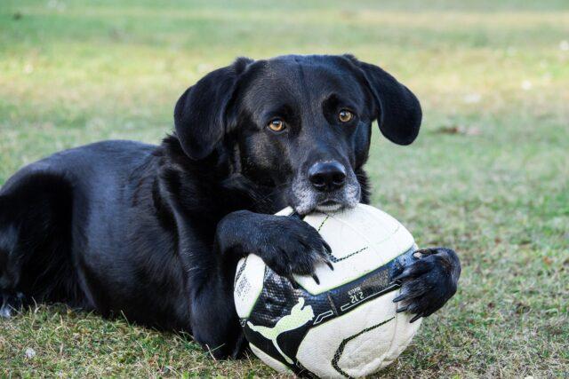 Labrador nero con pallone