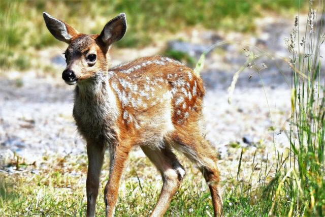 Piccolo Bambi che osserva