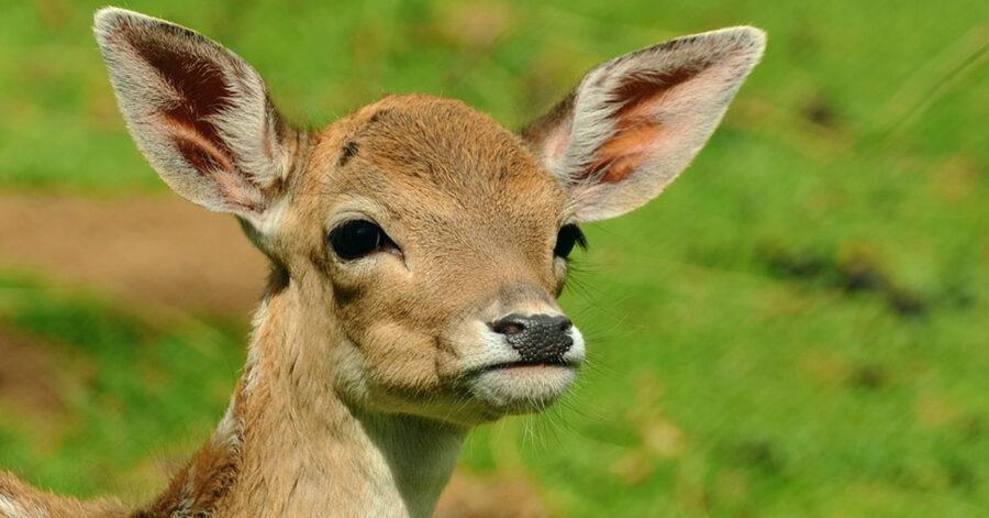 Primo piano di Bambi