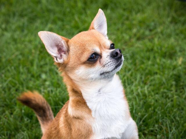 Chihuahua che guarda in alto